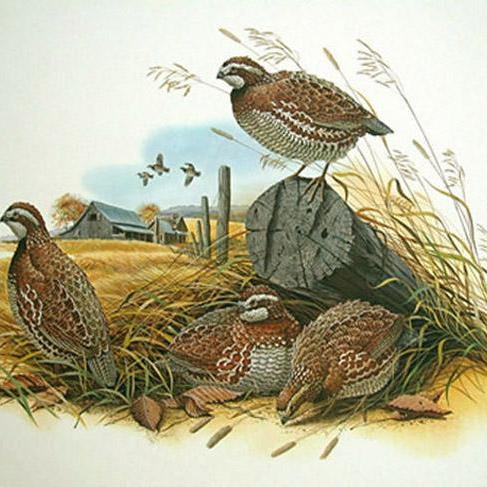 CRAFTS Bobwhite Quail Cross Stitch Pattern***LOOK***